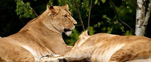 Leeuwen Beekse Bergen Safaripark