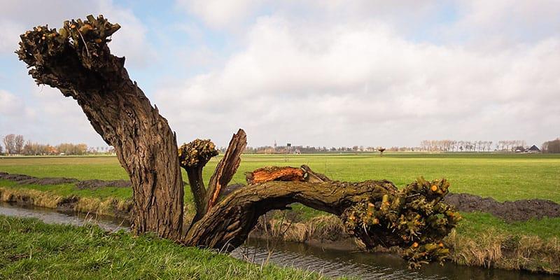 Een knotwilg langs een van de kaarsrechte wegen in de Beemster