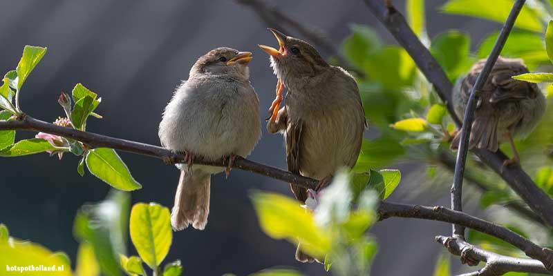 Mussen in een appelboom