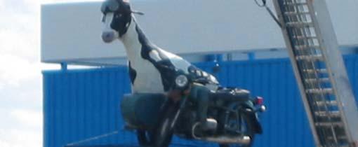 Koe <em>Lize 255</em> in motor-met-zijspan