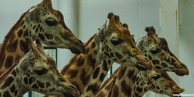 De giraffes. Een van de big five van Diergaarde Blijdorp