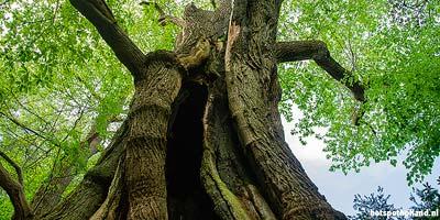 Leuke uitstapjes Dikste boom van Nederland