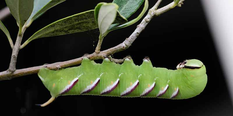 Rups van de Doodshoofdvlinder