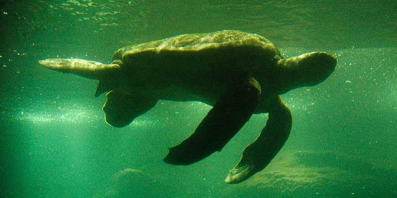 Reuzeschildpad in Dierenpark Emmen