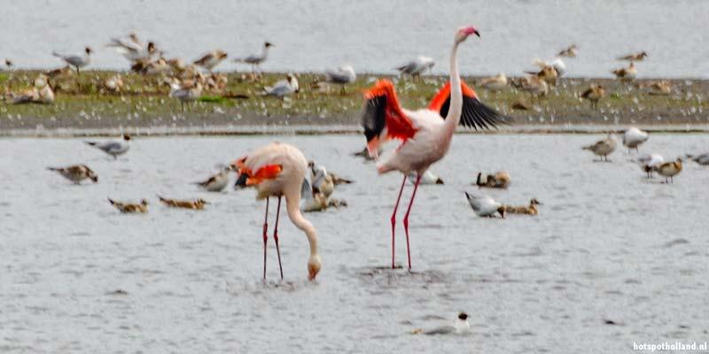 Flamingo's in het Zwilbroekerveen