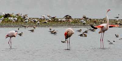 Flamingo's spotten Zwilbroekerveen