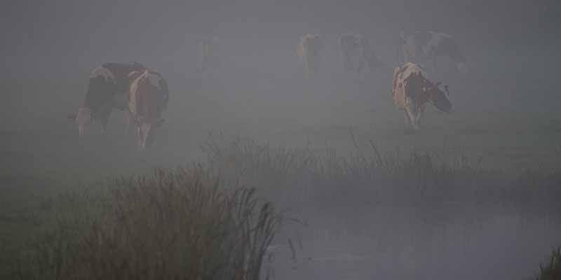Op een vroege zondagmorgen lopen koeien in de mist langs de spoorlijn bij Workum