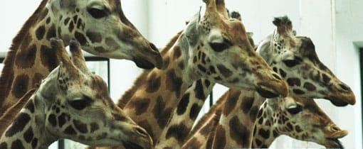 De giraffes