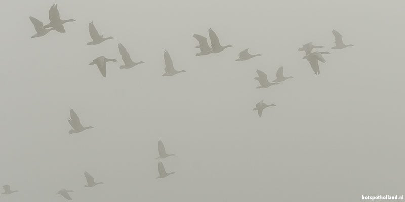 Opvliegende ganzen op een mistige ochtend in het Horsterwold