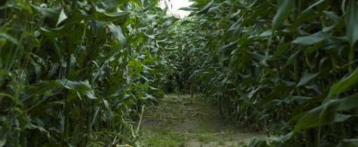 Het maisdoolhof is een organische dwaaltuin en kan alleen in de zomer bezocht kan worden
