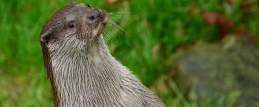 Een nieuwsgierige otter in Natuurpark Lelystad