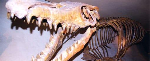 Skelet van een dino in het Natuur Historisch museum in Maastricht