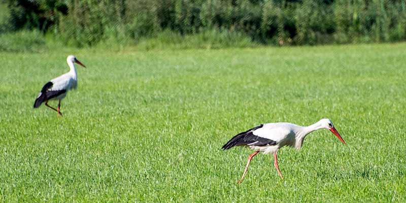 Ooievaars op zoek naar voedsel in een weiland