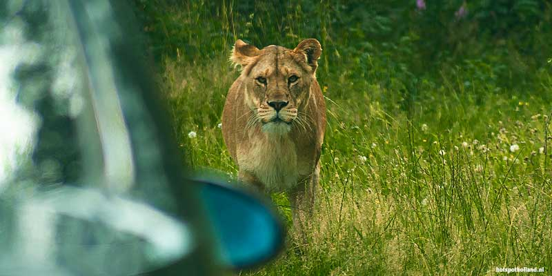 En opeens sta je oog in oog met een leeuw!