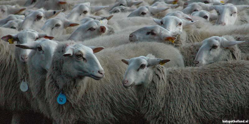 De grootste schaapskooi van Nederland op de Ermelosche heide