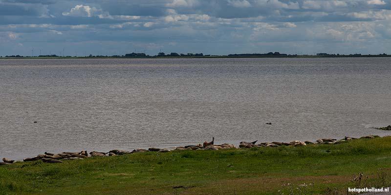 Zeehonden aan het zonnebaden bij Termunten