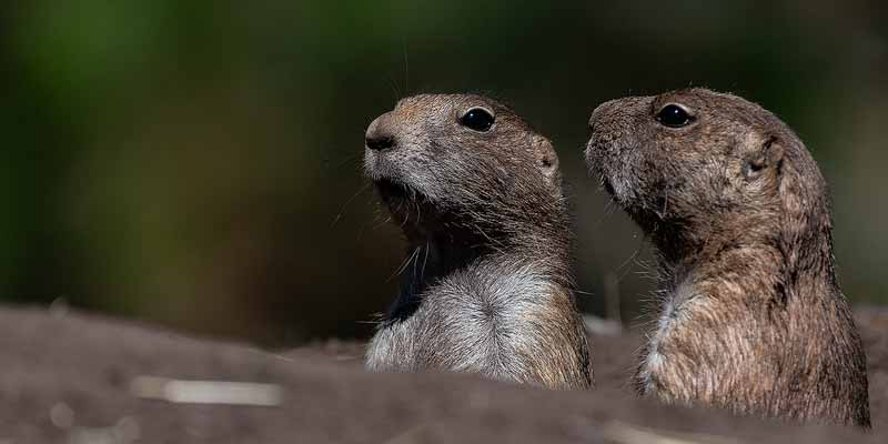 Twee razend nieuwsgierige prairiehonden