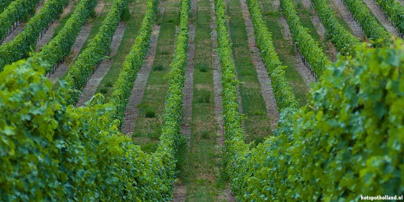 In het glooiende landschap van Zuid-Limburg is de Nederlandse wijnbouw ontstaan